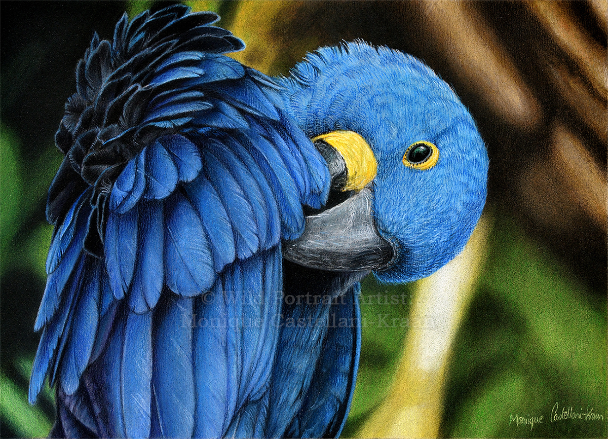 """Hyacinth Macaw"" - A4 drawing in coloured pencils with powder blender on UArt 800 sanded paper. Reference photo by Jan Willemsen from wildlifereferencephotos.com Art by Wild Portrait Artist. Available for sale."